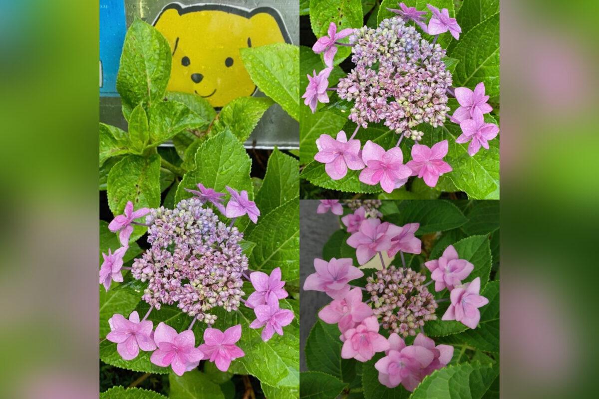 紫明先生の紫陽花
